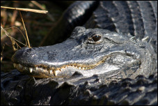 Everglades Alligator