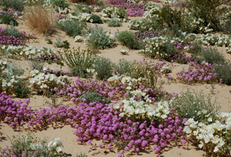 The Desert in Bloom at Mojave National Preserve